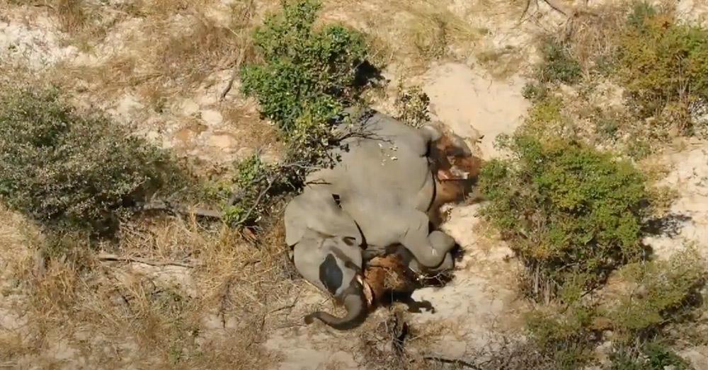 非洲国家波札那自5月起发现350只大象尸体