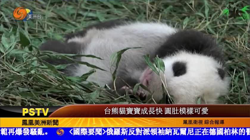 台熊貓寶寶成長快 圓肚模樣可愛