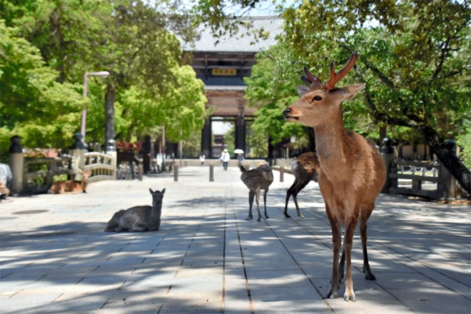 日本奈良公园因无游客投喂,野生鹿离开园区觅食