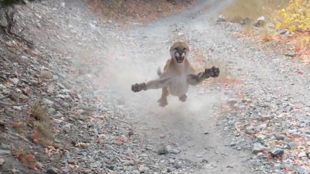 惊险!登山者将美洲狮幼崽当山猫 险遭成年美洲狮攻击