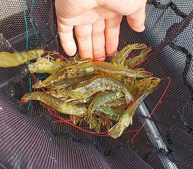 日本冲绳白虾养殖场因传染病造成9.8万白虾死亡