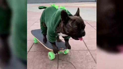 今日之星-滑板斗牛犬