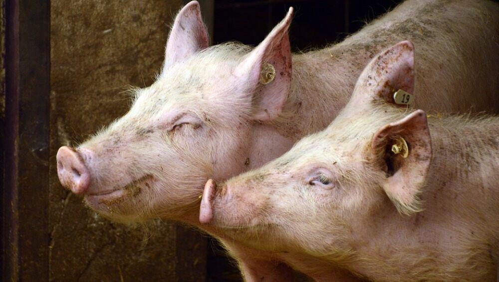 加拿大境内发现首例猪流感H1N2病毒株感染人