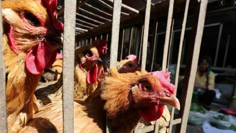 日本香川县爆发禽流感,政府扑杀约33万只鸡
