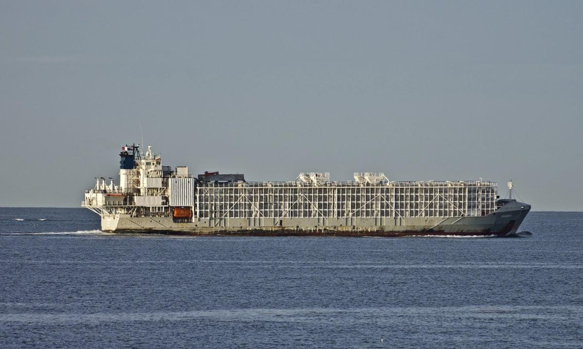 新西兰将在两年后停止海运活体牲畜出口