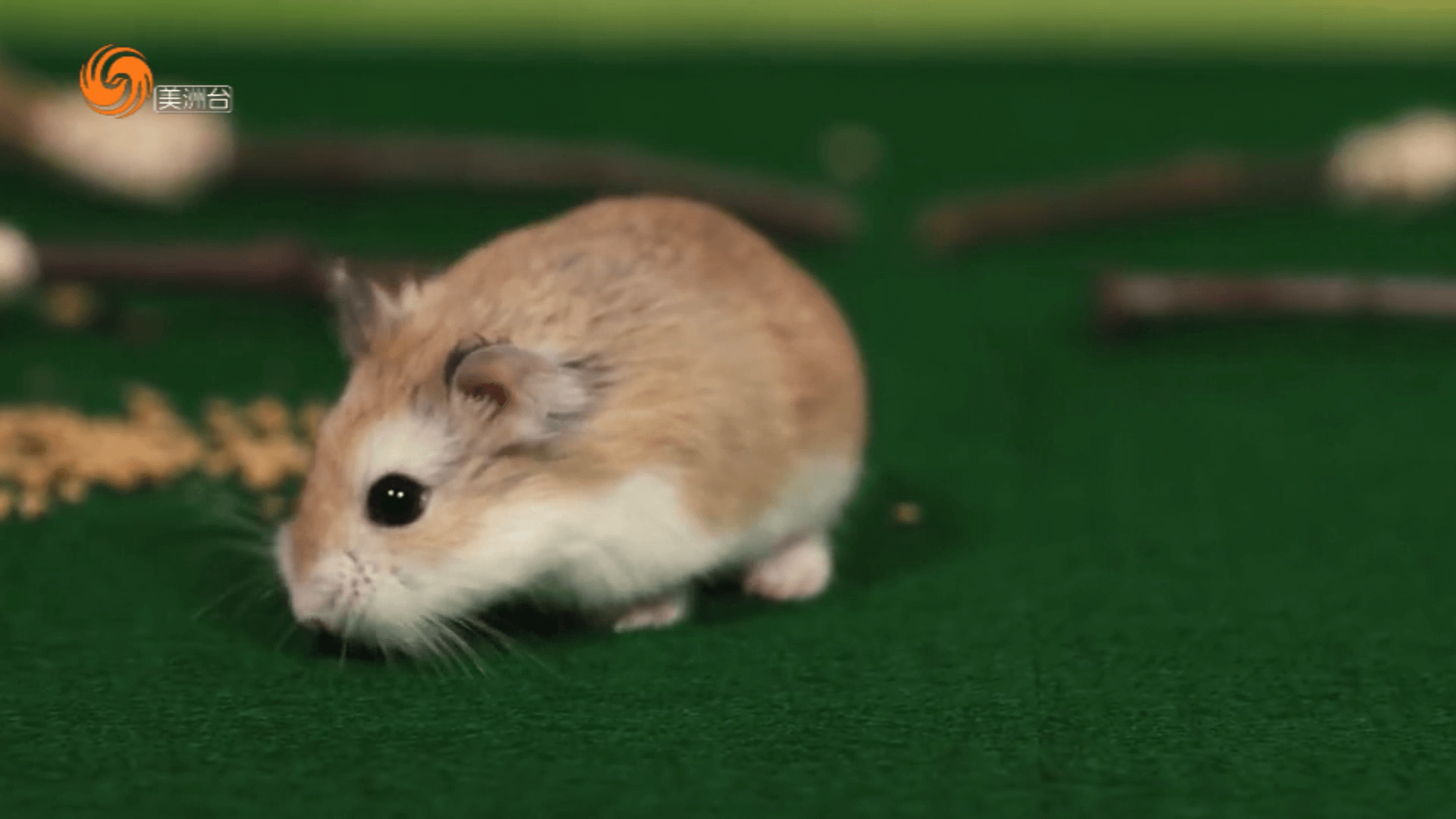 倉鼠的生活習慣