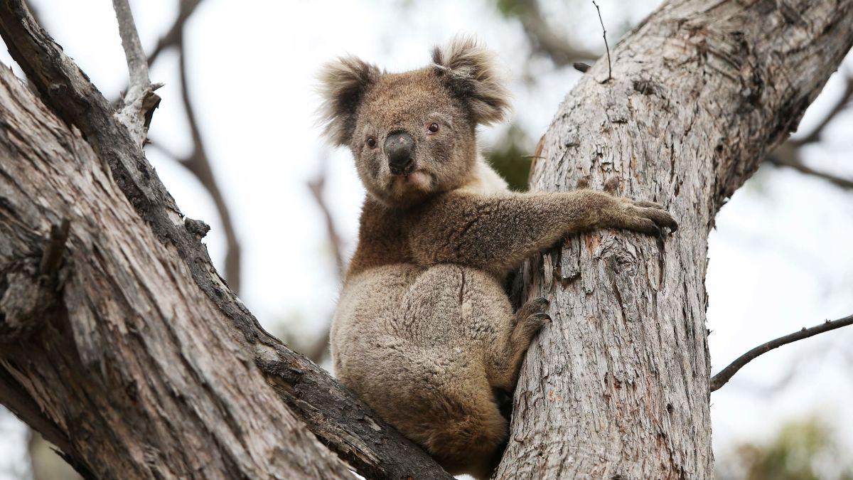 澳洲树袋熊受极端环境影响数量锐减30%